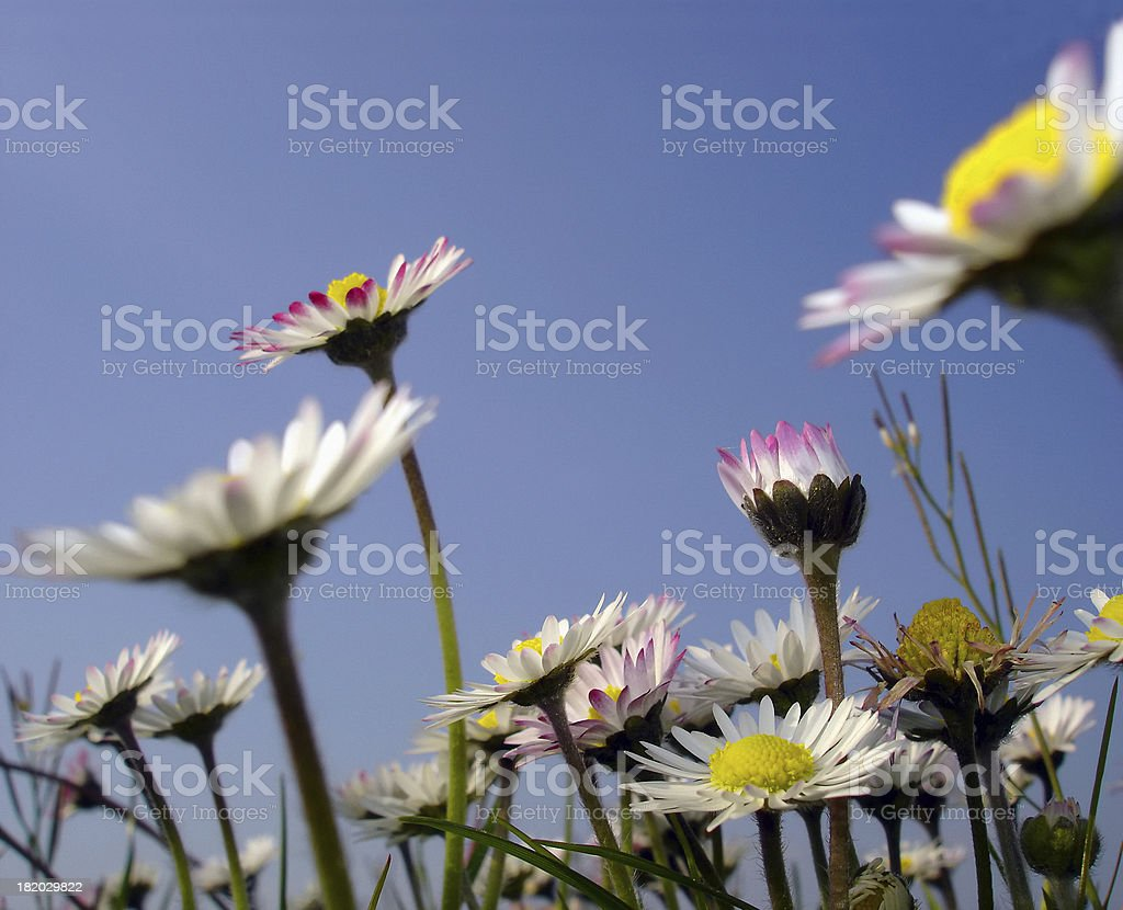 Daysies Under a Blue Sky royalty-free stock photo