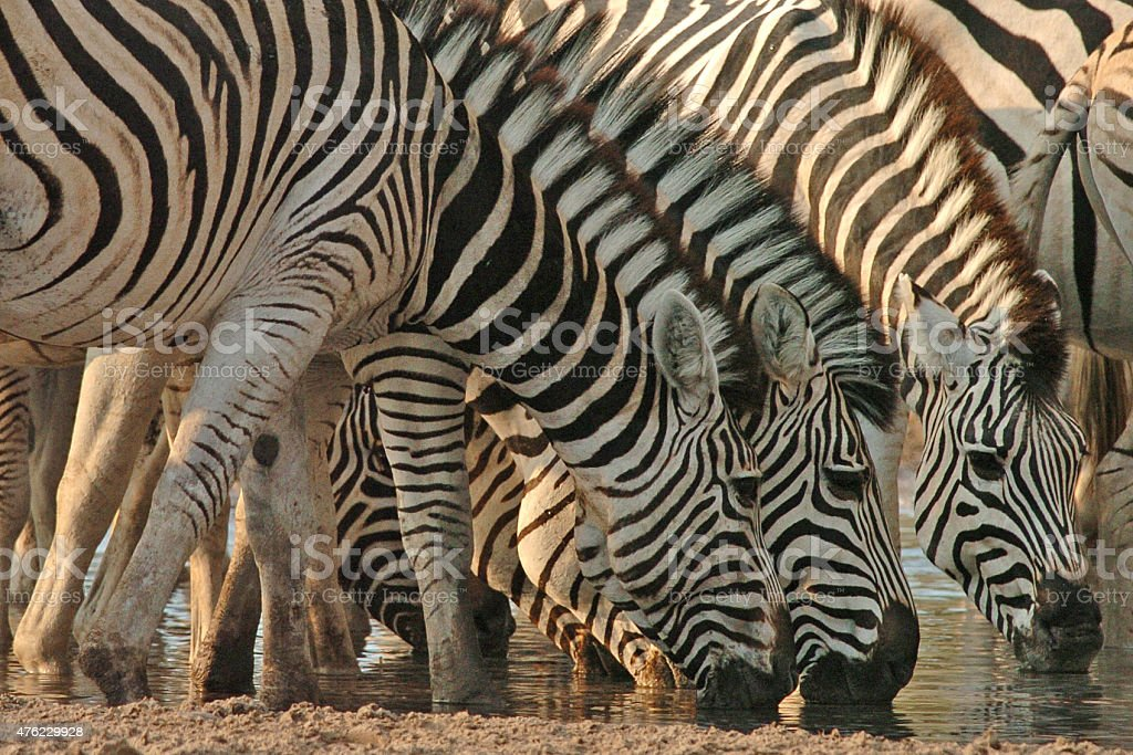 Dazzle of Zebra drinking stock photo