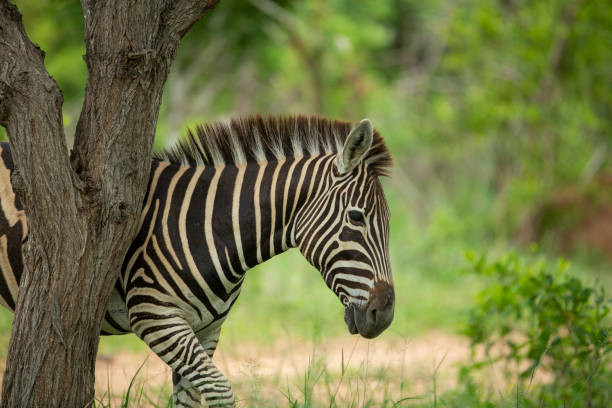 A dazzle of zebra – zdjęcie
