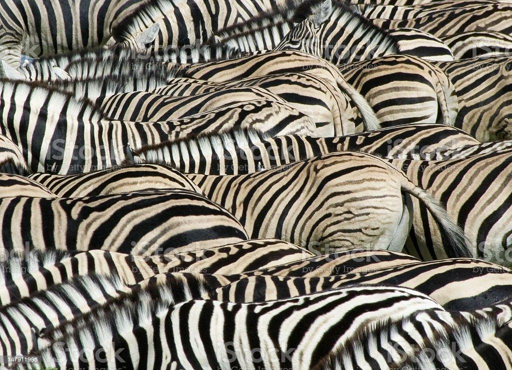 Dazzle of Zebra royalty-free stock photo