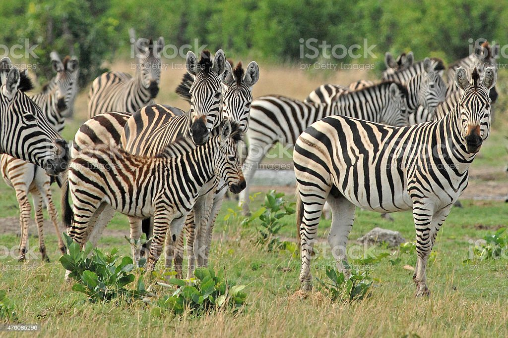 Dazzle of zebra stock photo