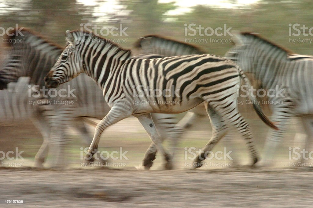 Dazzle of Zebra running stock photo