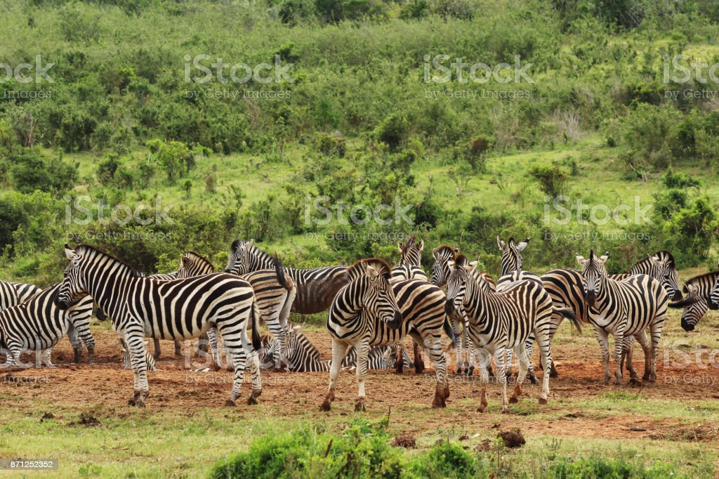 A dazzle of zebras (Equus quagga) near a waterhole in the Addo Elephant National Park near Port Elizabeth, South Africa. stock photo