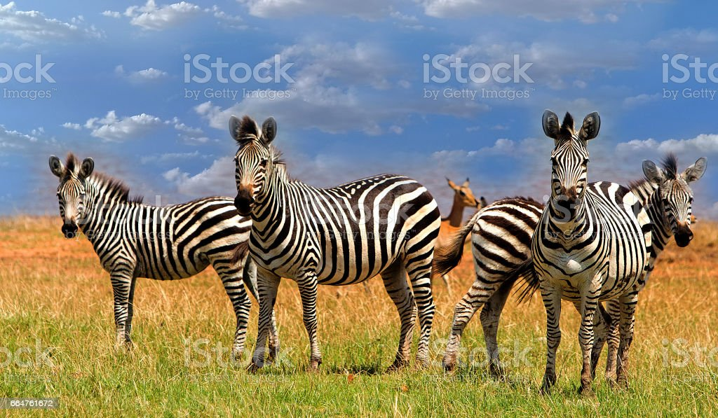 Dazzle of Zebras standing looking ahead with a natural cloudscape background in Bumi National Park, Zimbabwe stock photo
