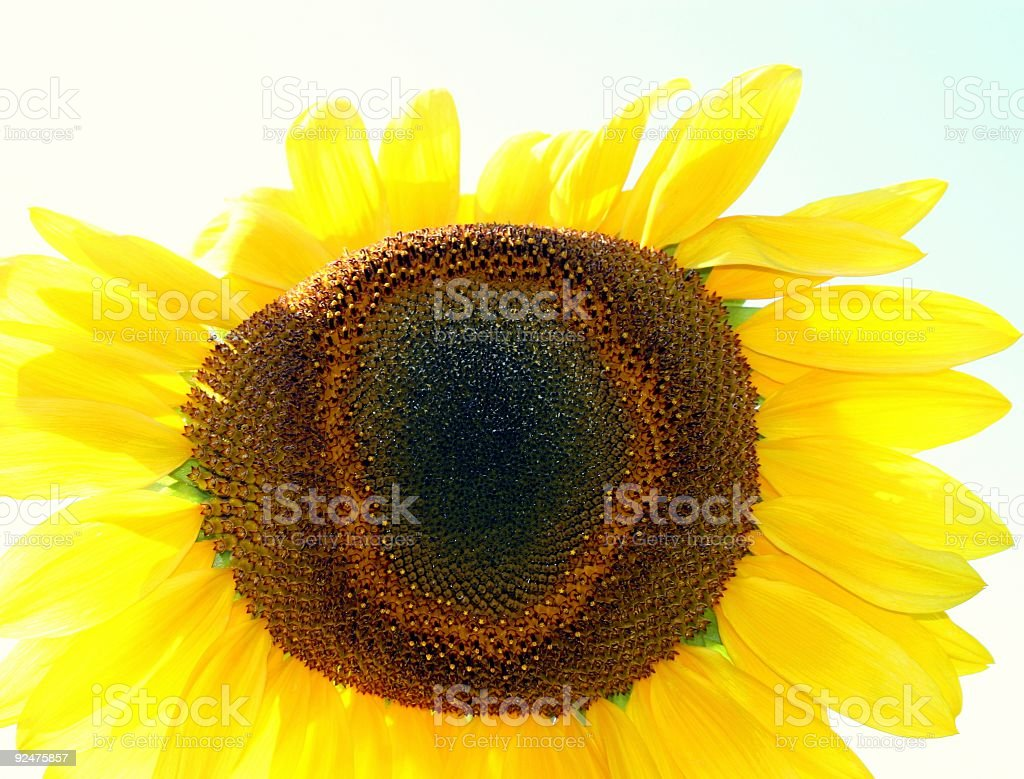 Dazzling Backlit Sunflower royalty-free stock photo