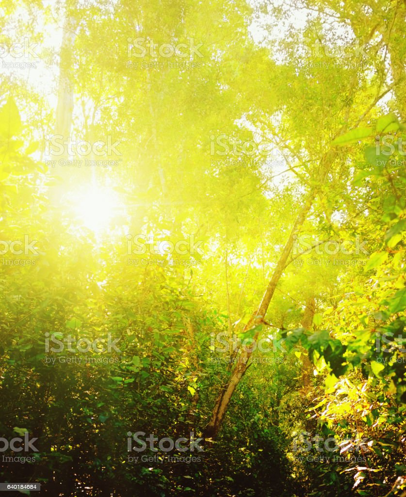 Dazzling sun seen through lush forest vegetation stock photo
