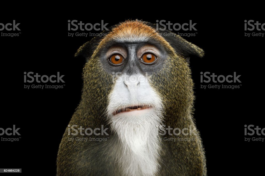 De Brazza's Monkey stock photo