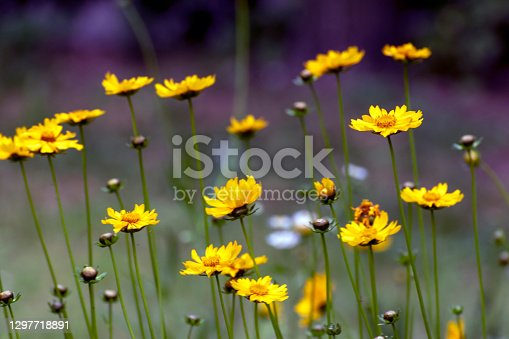 De focused view of yellow daisy or Coreopsis blooming in a spring park. Abstract floral seasonal background or banner. Blooming in garden. Shallow depth of field