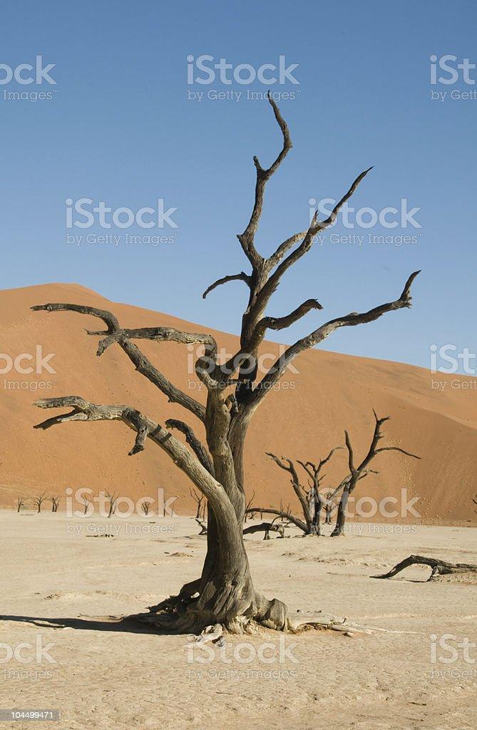 Dead acacia tree in desert stock photo