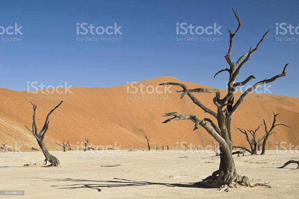 Dead acacia trees in desert stock photo