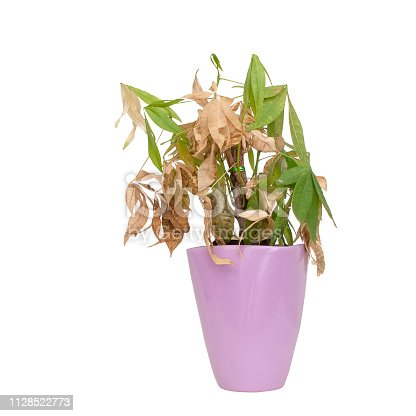 Dead and dry houseplant in pretty pot isolated on white. It was Pachira aquatica, aka Money Tree.