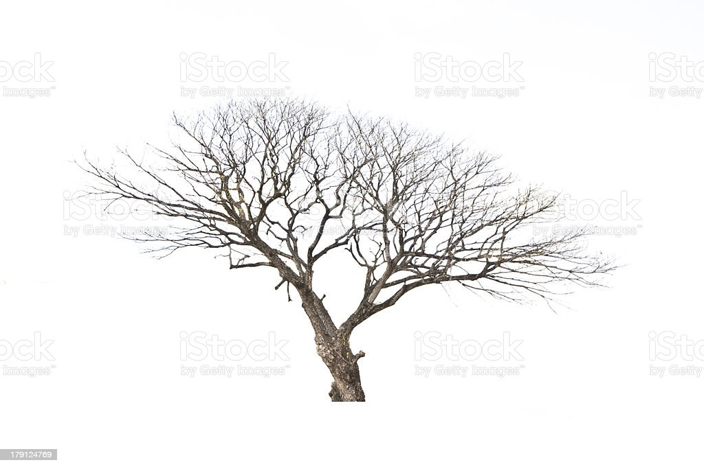 Dead and dry tree is isolated on white background royalty-free stock photo