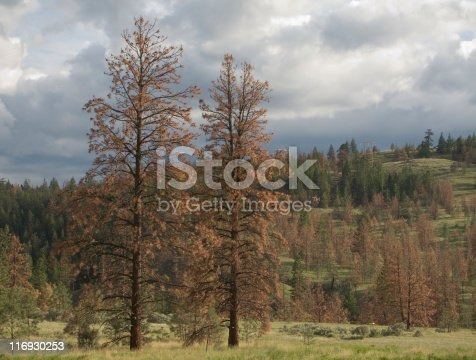 Ponderosa pine trees stand