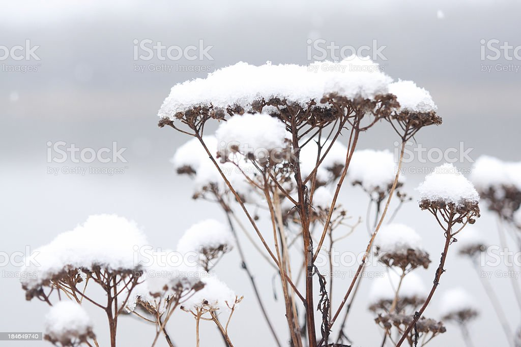 Dead angelica flower covered in snow royalty-free stock photo