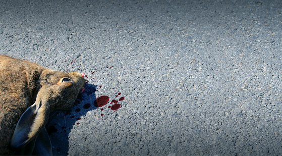 Dead animal on the road hit by a car. Drive carefully.
