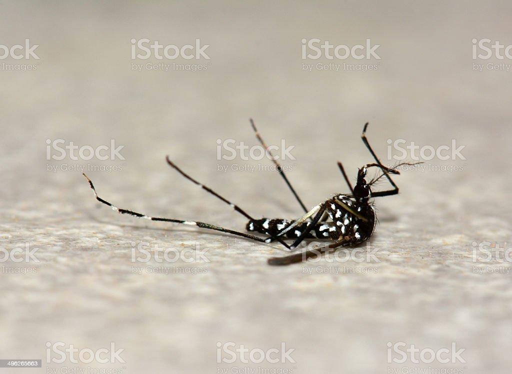 Dead Asian tiger mosquito stock photo