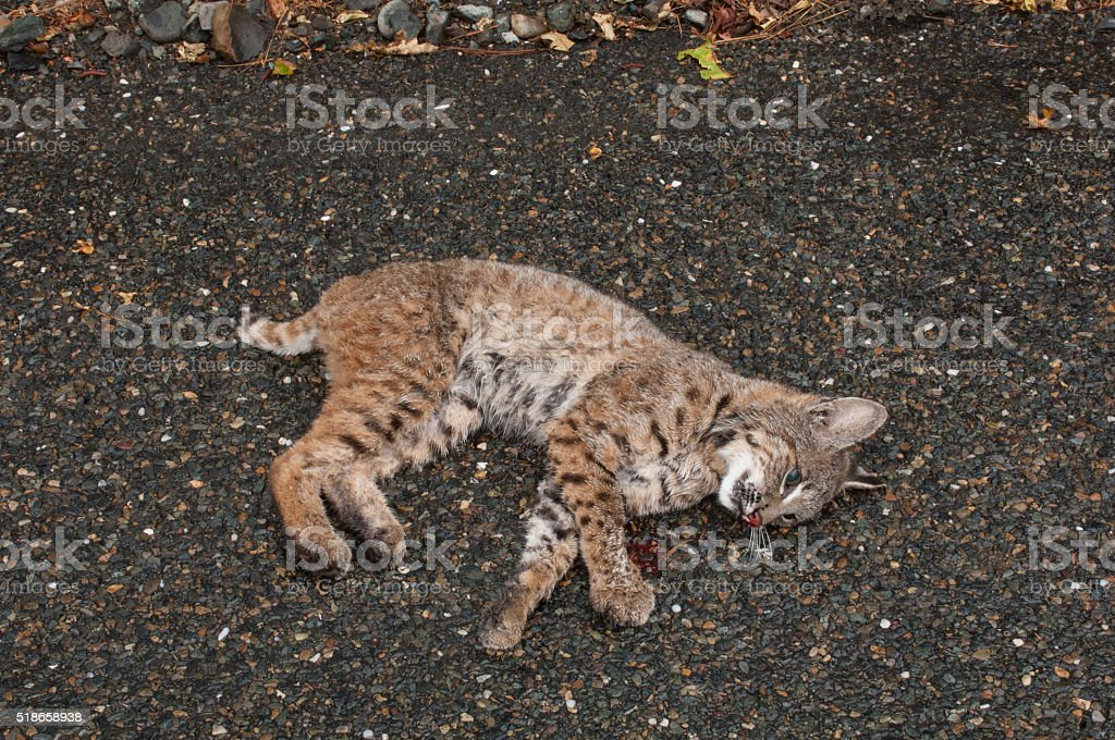 Dead Baby Bobcat stock photo
