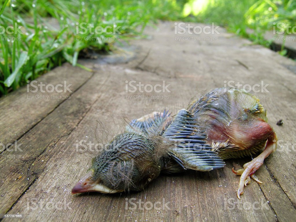 Dead Baby Robin Lying on a Wooden Board royalty-free stock photo