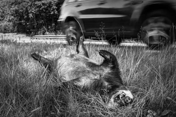 Dead badger killed by car, car driving in background black and white image stock photo