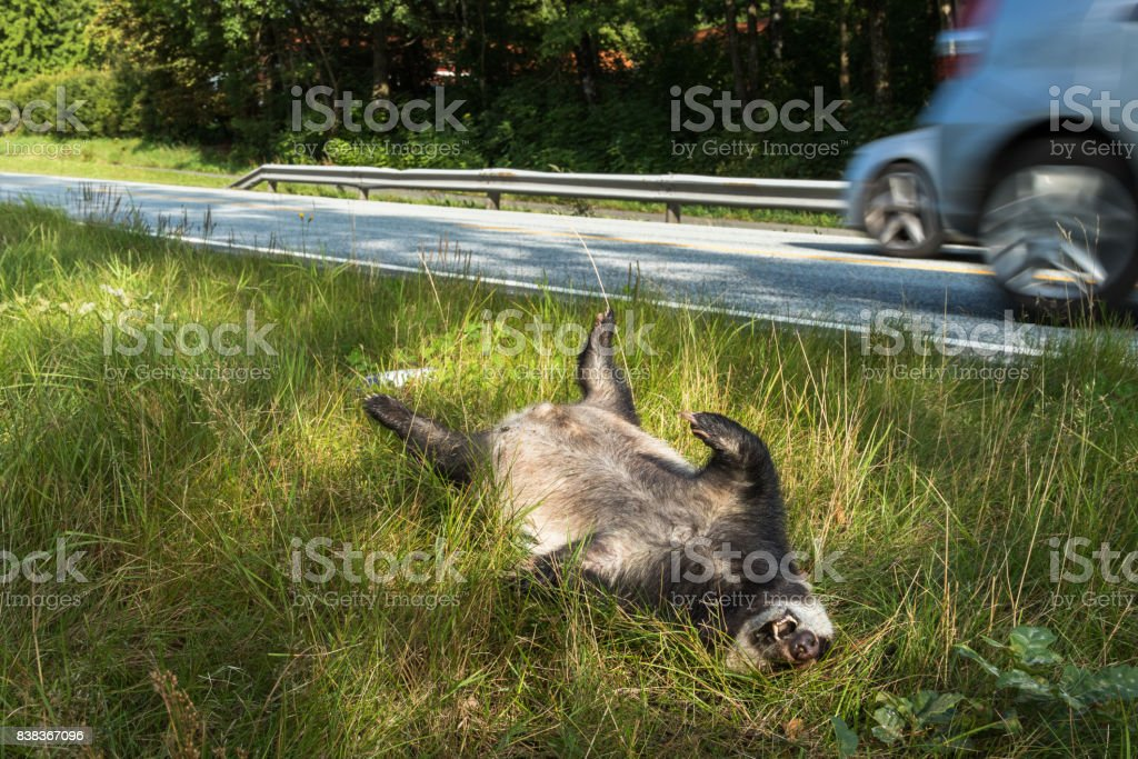 Dead Badger Killed By Car Driving In Background Horizontal Image Royalty Free Stock