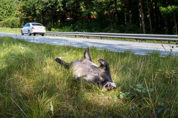 Dead badger killed by car, car driving in background horizontal image stock photo