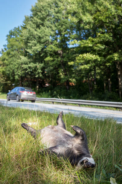 Dead badger killed by car, car driving in background vertical image stock photo