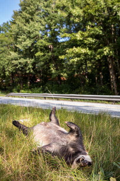 Dead badger killed by car, the road in the background, vertical image stock photo