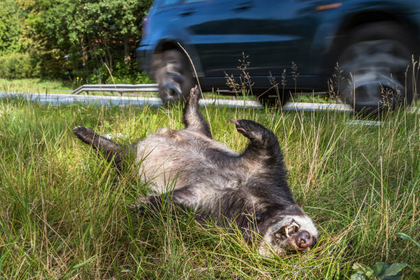 dead badger lying by the side of the road while car drives by stock photo