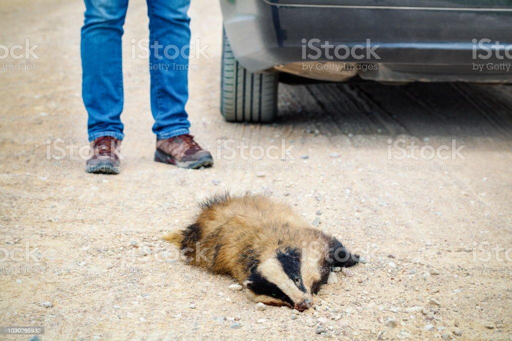 Dead badger on road near car stock photo
