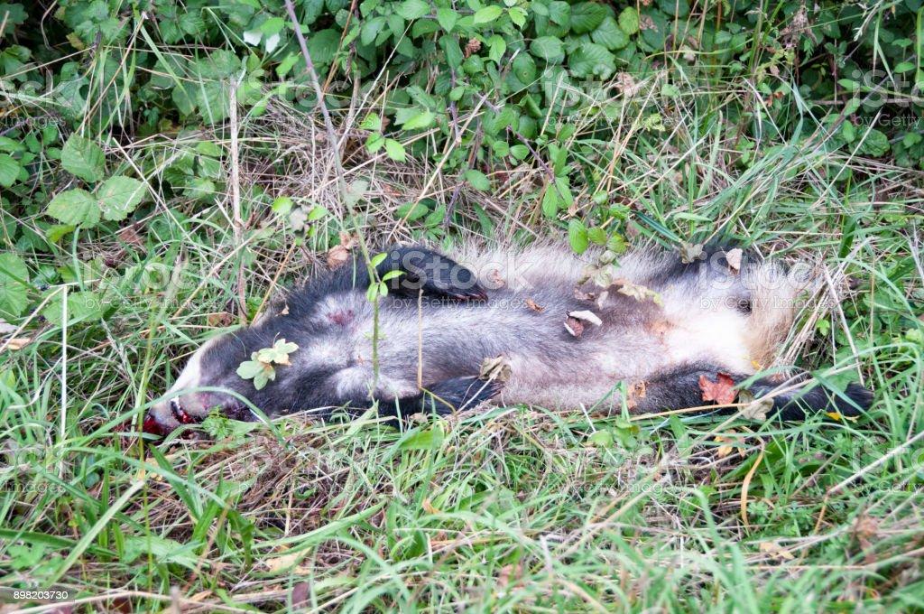 Dead Badger stock photo