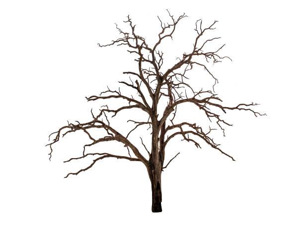 dead bare tree on white stock photo