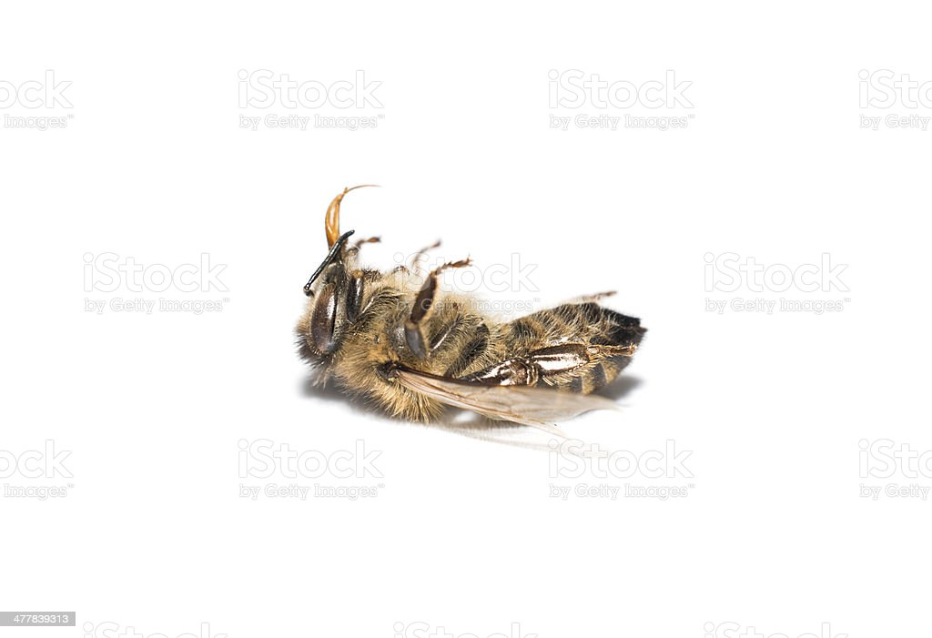 dead bee royalty-free stock photo