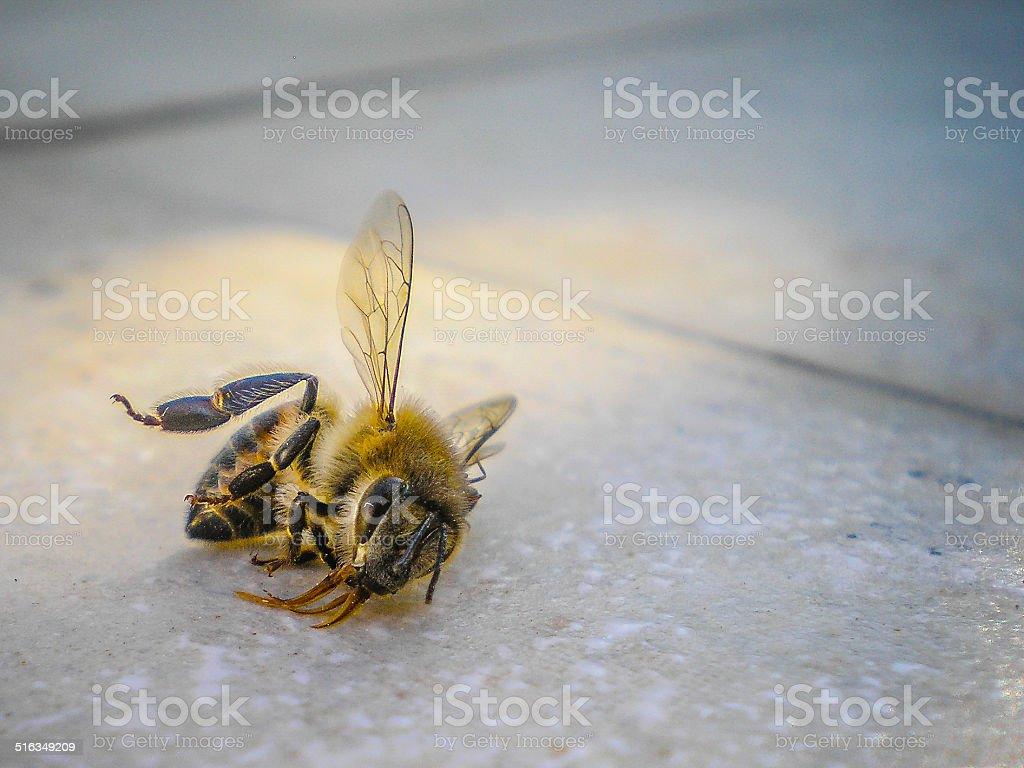 Dead Bee stock photo