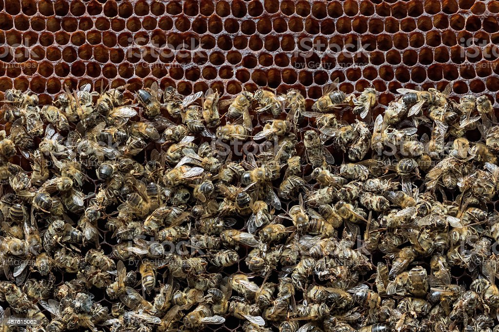 Dead bees covered with dust and mites on a honeycomb stock photo