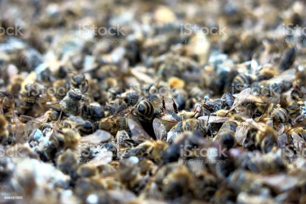 Dead bees in a hive that hasn't made it through winter stock photo