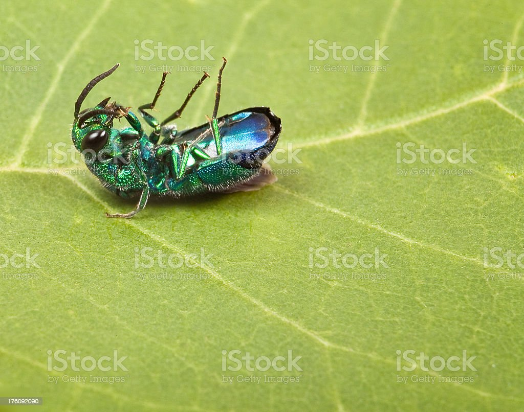 dead belly up emerald bug stock photo