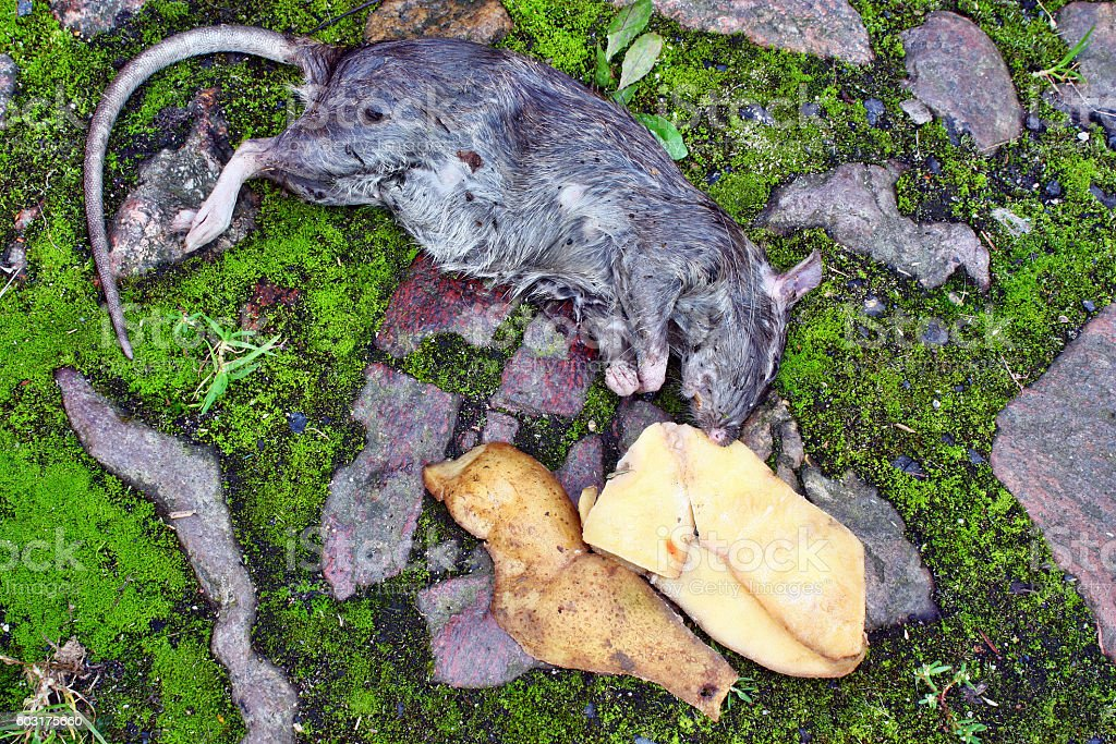 Dead big rat and spilled  peels the potatoes stock photo