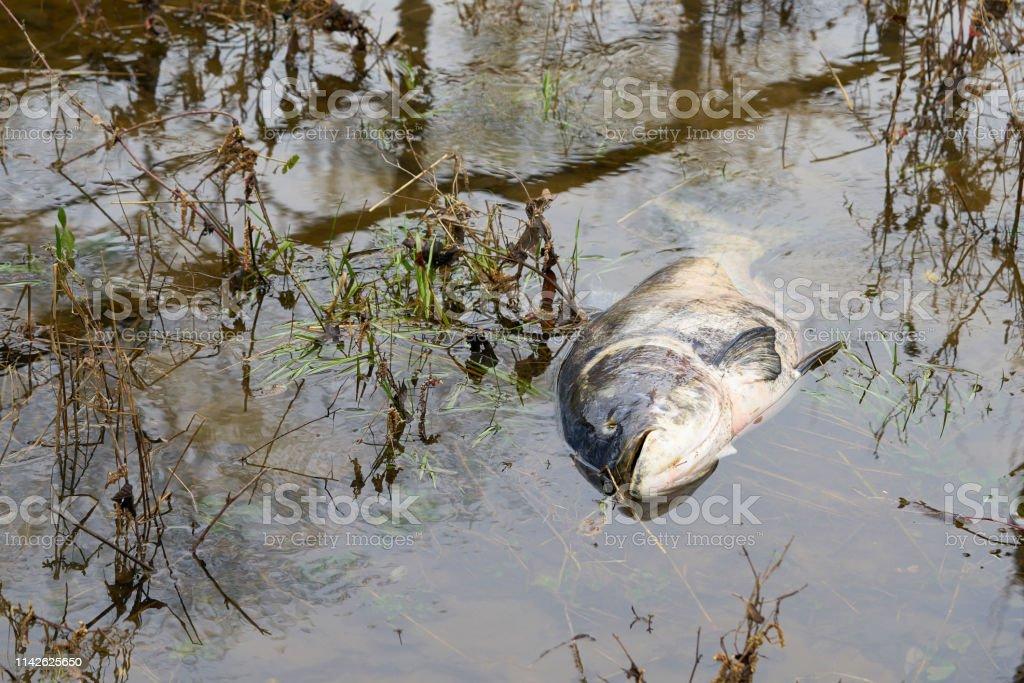 Toter Bighead-Karpfen in einem Fluss – Foto