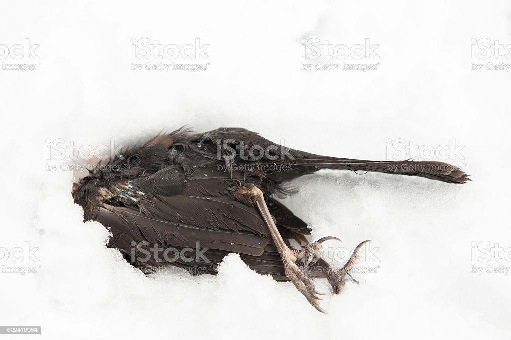 dead bird lying in the snow stock photo