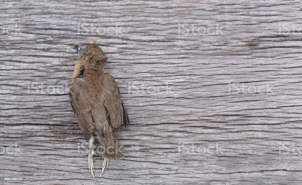 Dead bird on the wooden floor Pollution from a factory Industry Releasing. 免版稅 stock photo