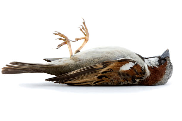Dead Bird Dead Sparrow on a White Surface dead stock pictures, royalty-free photos & images