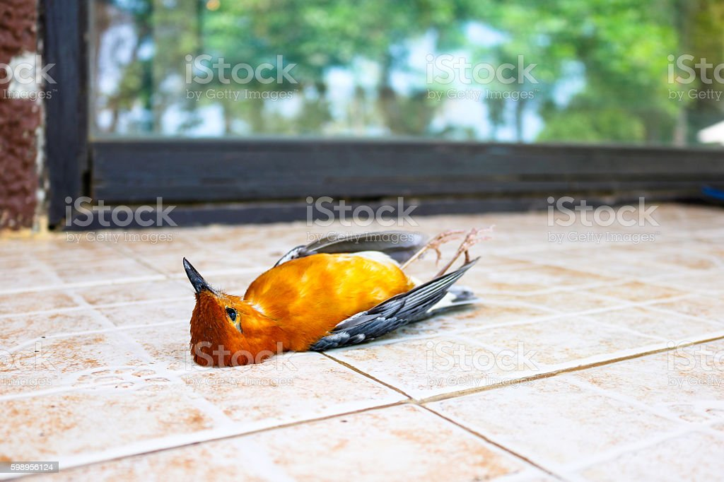 Dead birds with the windows. stock photo