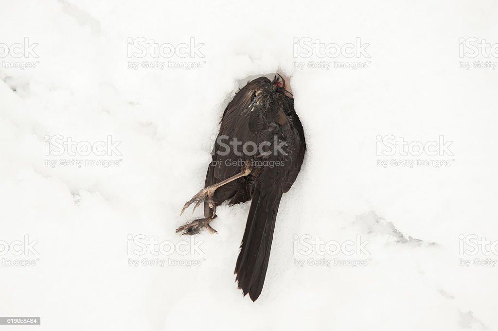 dead black bird lying in the snow stock photo