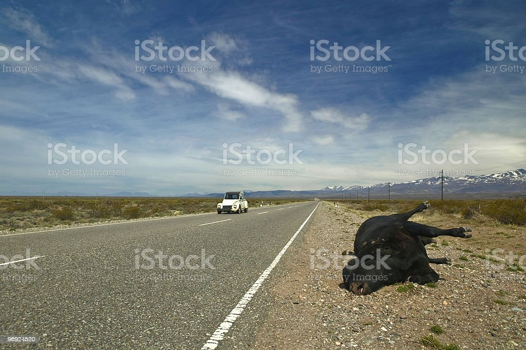 Dead black cow with white car royalty-free stock photo