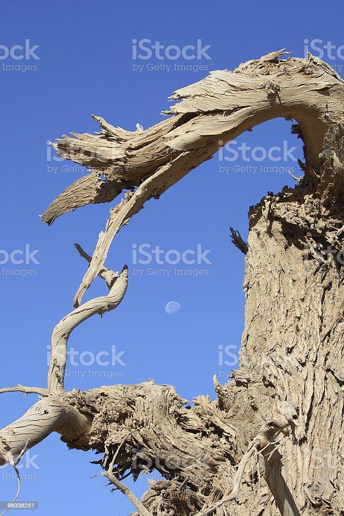 dead black poplar trunk royalty-free stock photo