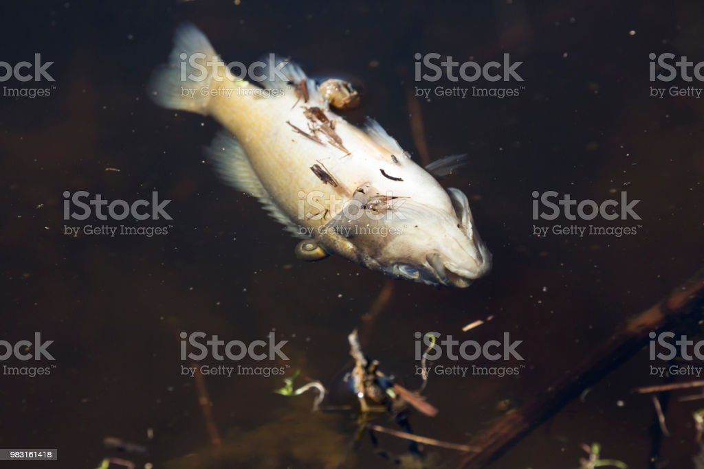 Dead bluegill floating in an irrigation ditch stock photo