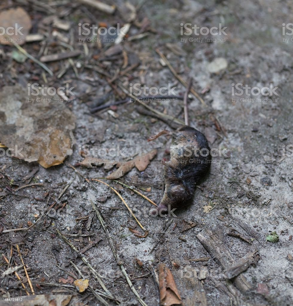Dead body of shrew lying on forest path stock photo