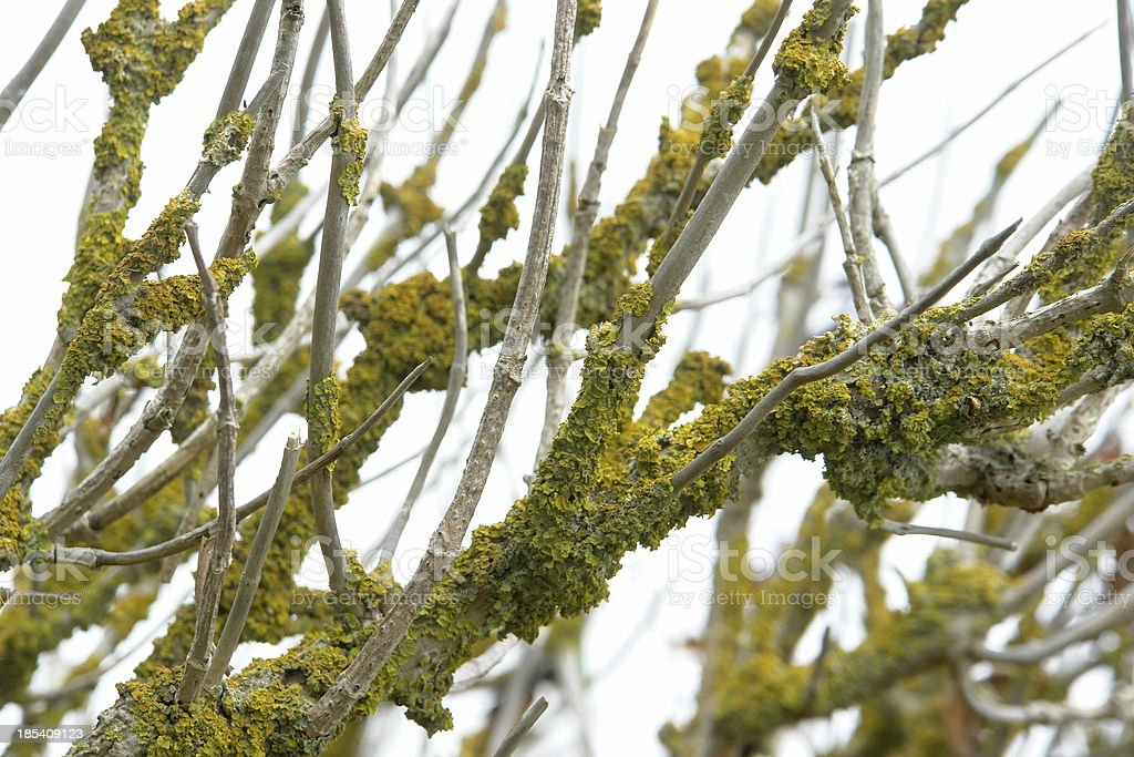 Dead branches covered with lichen stock photo