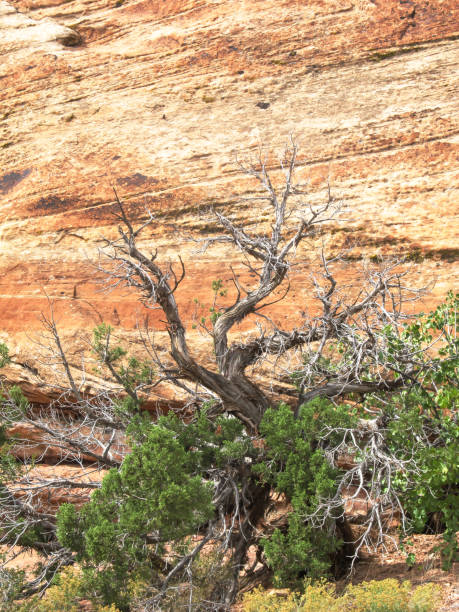 Dead branches of a Utah Juniper, Juniperus Osteosperma, against a cliff of Entrada Sandstone Dead branches of a Utah Juniper, Juniperus Osteosperma, against a cliff of Entrada Sandstone with a clear developed cross-bedding, photographed outside Moab, Utah, USA entrada sandstone stock pictures, royalty-free photos & images