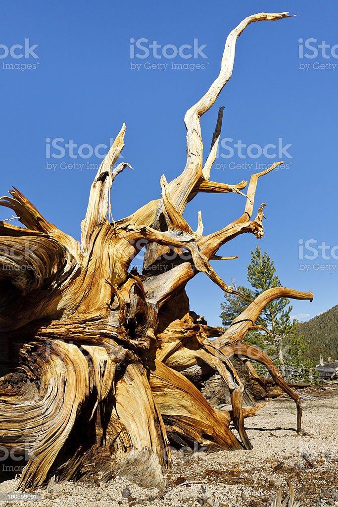 Dead Bristlecone Pine stock photo